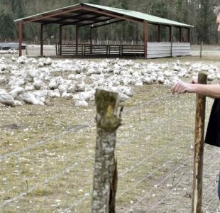 Influenza aviaire : une aide financière pour les entreprises impactées