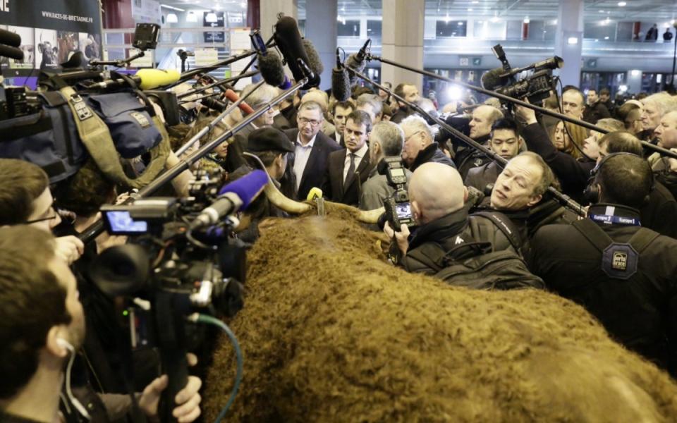 Manuel Valls visite les allées de l'élevage bovin