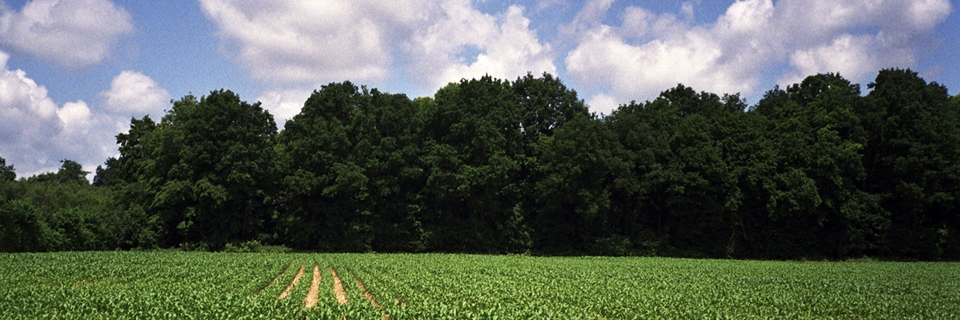 Photo d'un champ de maïs