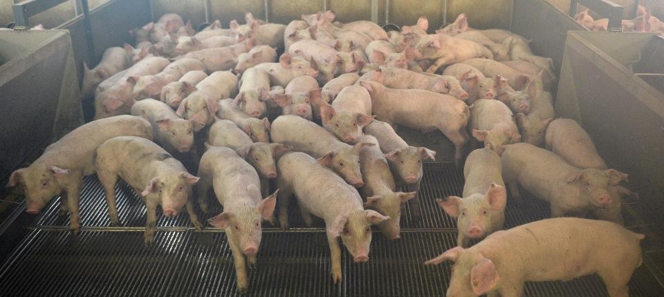 Élevage de porcs dans une ferme française