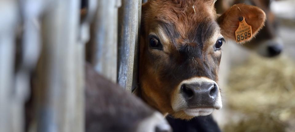 vache dans une ferme