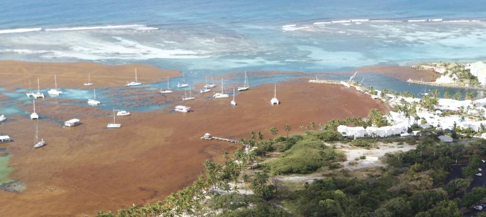 Algues Sargasses au large de la Guadeloupe