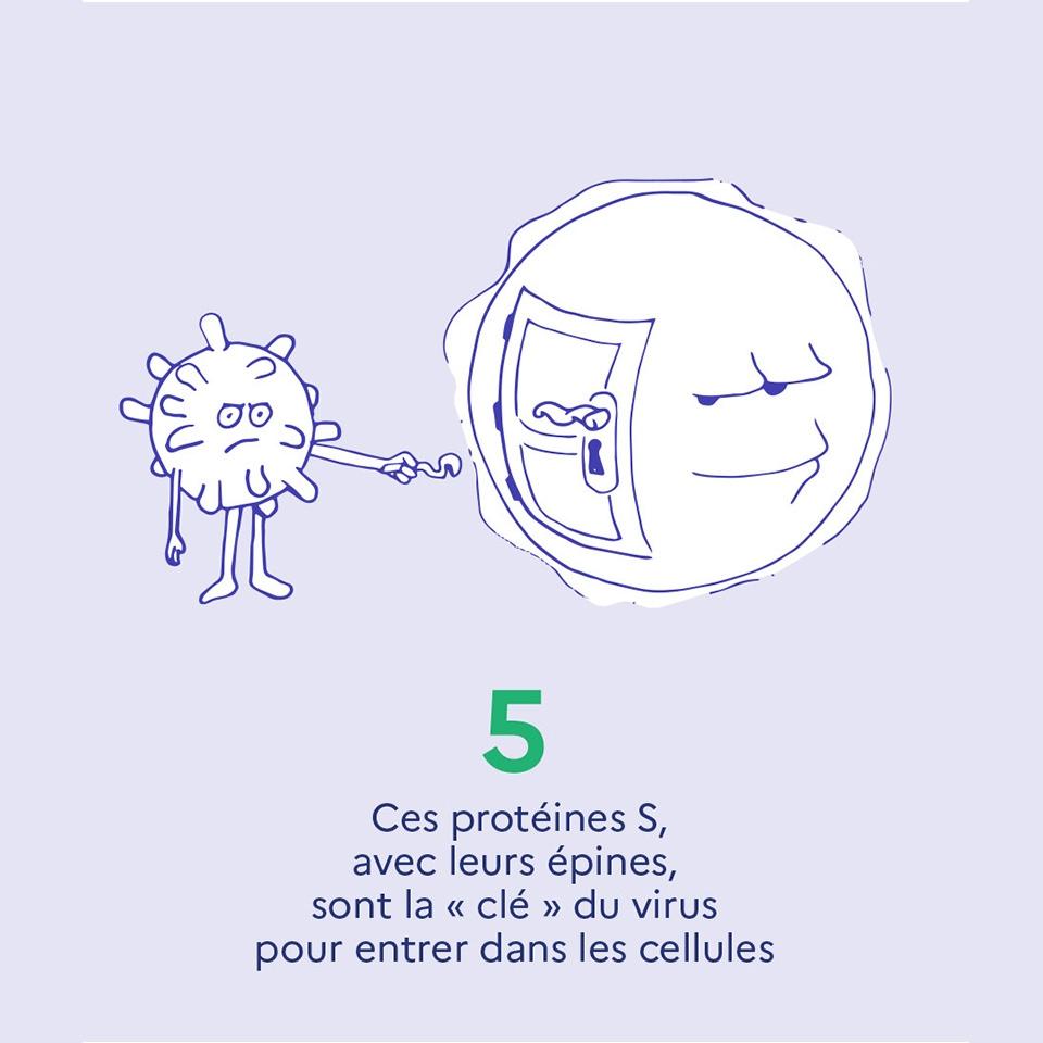 """5. Ces protéines S, avec leurs épines, sont la """"clé"""" du virus pour entrer dans les cellules"""