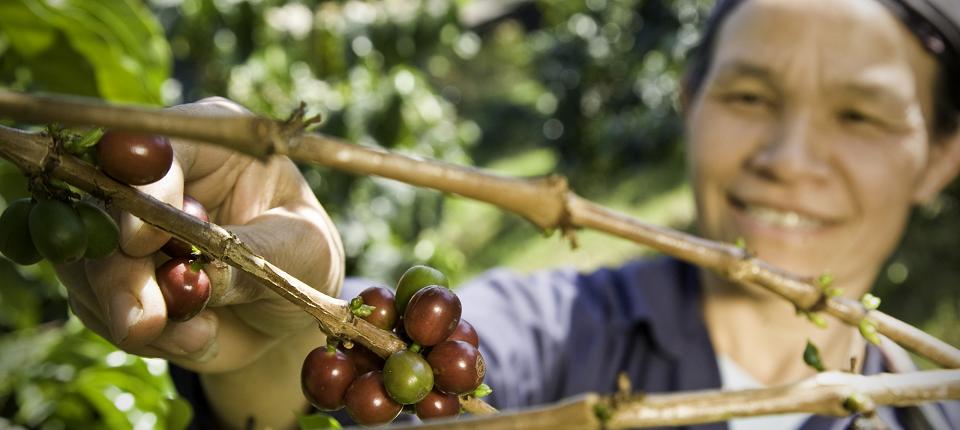 Paysan en train de cueillir du raisin