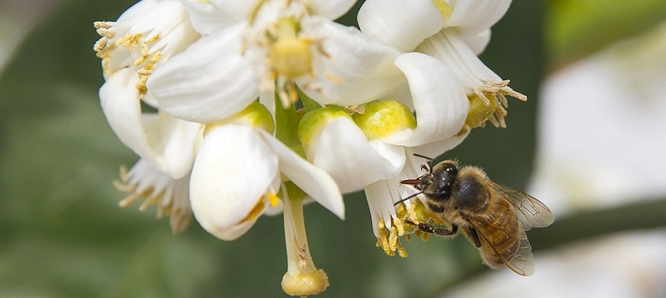 A bee gathers honey from an orange blossom