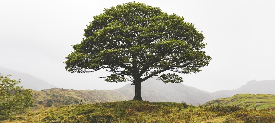 Robust tree in a green landscape
